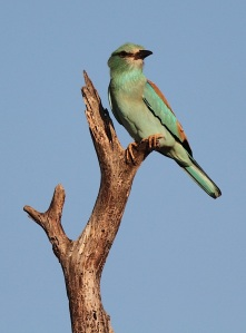 European Roller enjoying his last few days of African sunshine before heading of to Eurasia