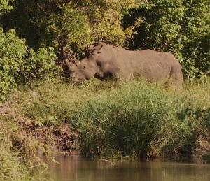 White Rhino Disaster in progress with increasing poaching