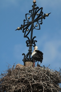 Stork happily nesting in Eguisheim