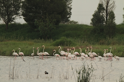 These flamingoes recently settled in the dam