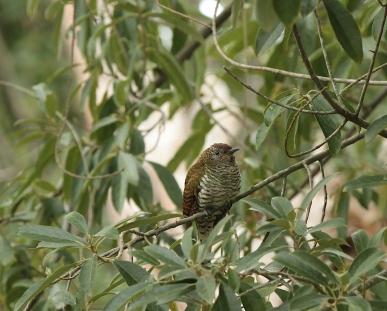 'Diederik' Cuckoo